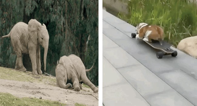 Funny GIFs of animals and falling - no animals were hurt in any of these GIFs