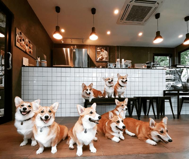 corgi dogs, cute dogs, dogs cafe