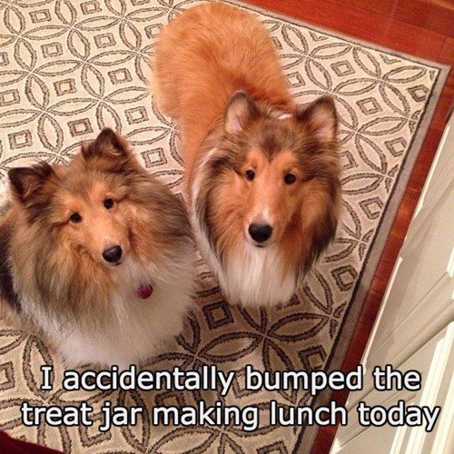 dogs,treats,whoops,border collie