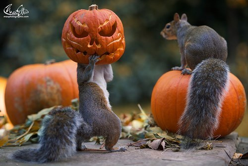 pumpkins halloween squirrels Photo animals