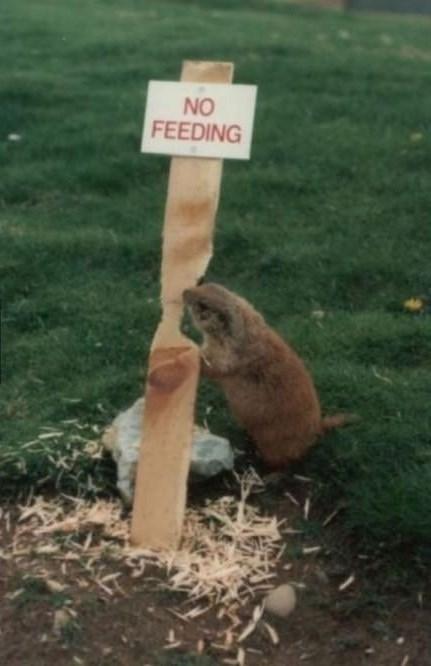 beavers wood no feeding - 8364346368