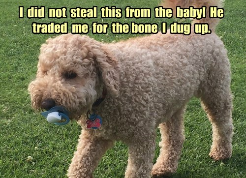 labradoodle dogs baby binky - 8364585728