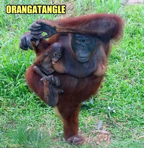 pose baby animal cute orangutan - 8364637696