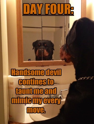dogs mirror doberman