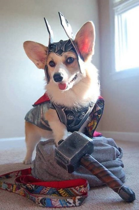 dogs Thor marvel The Avengers corgi - 8365625088