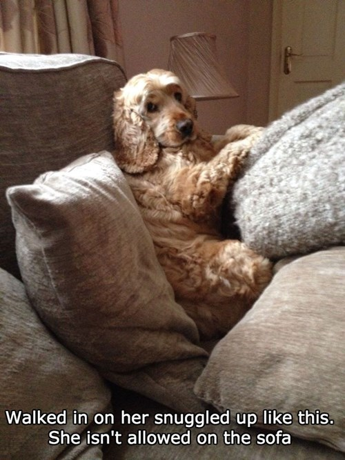 cocker spaniel,dogs,sofa,not allowed