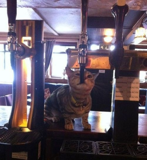 beer tap Cats funny after 12 g rated - 8369294336
