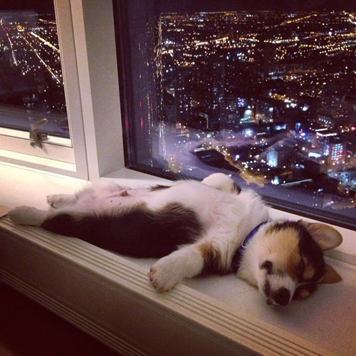 dogs puppy windows corgi sleeping - 8370383872