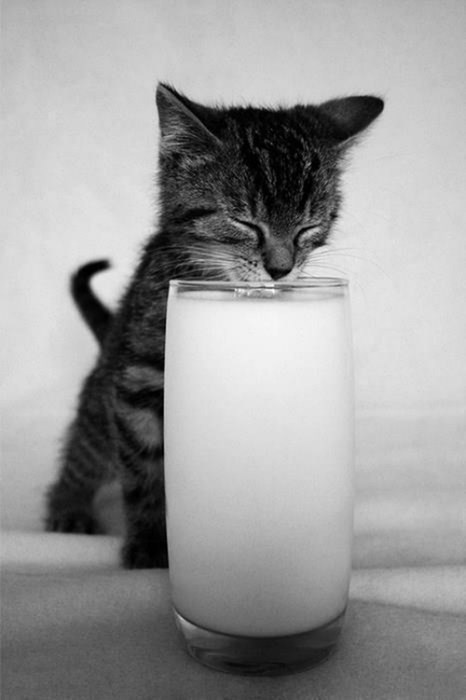 milk kitten Cats - 8370407424