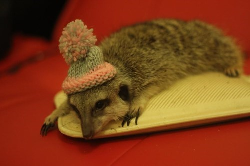 poorly dressed meerkat hat - 8371094272
