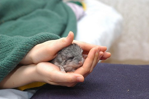cute,chinchilla
