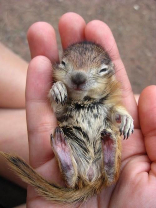 chipmunk cute - 8371285760