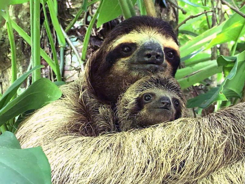 baby sloth and his mom