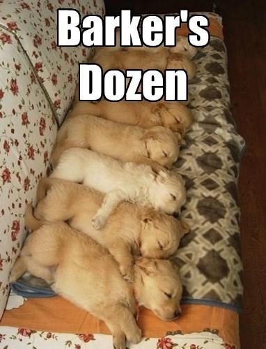 dogs dozen puppy golden retriever - 8373815040