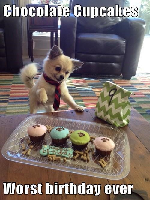 pomeranian,dogs,birthday,chocolate