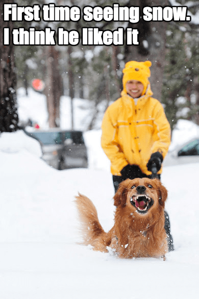 dogs yay snow golden retriever - 8374610944