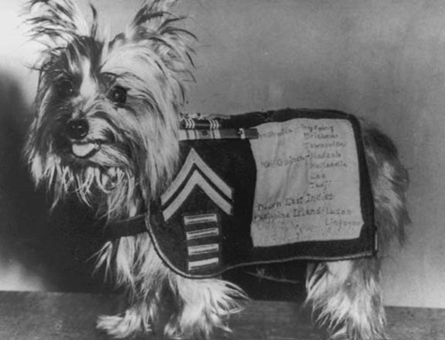 dogs,service dogs,veterans day,world war II,yorkshire terrier