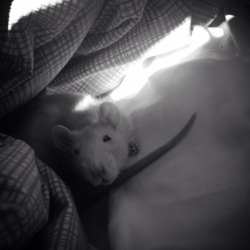 cute rat - 8375916288