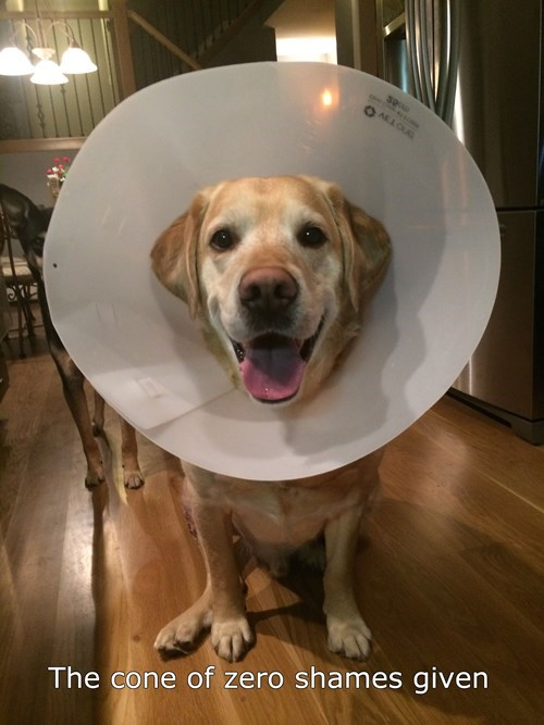 i dont care dogs labrador cone of shame