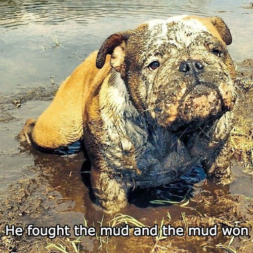 bulldog,dirty,dogs,mud