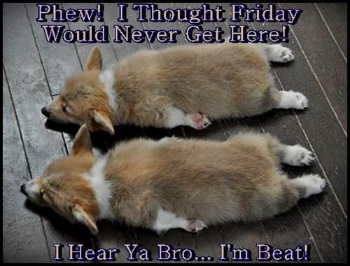 dogs corgi TGIF twins - 8377292288