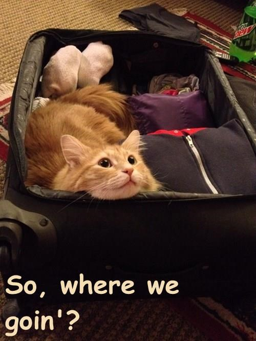 animals tabby suitcase trip Cats - 8377394688