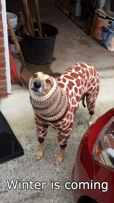 dogs Winter Is Coming sweater giraffes - 8377572864