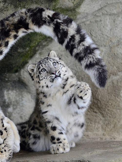 cute tail tiger - 8380109824