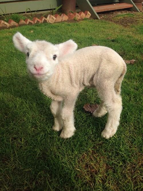 cute lamb - 8380111360