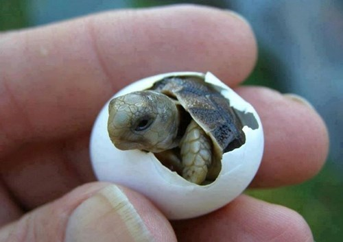 cute shell turtle hatching - 8380112384