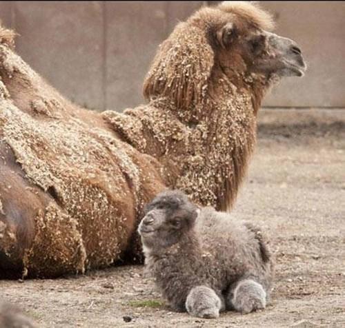 camel cute - 8380113152