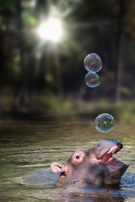 cute,bubbles,hippo