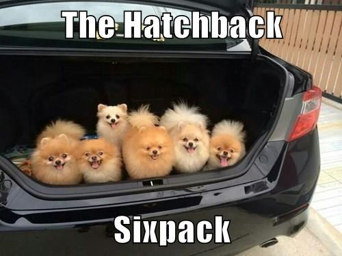 pomeranian,six pack,dogs