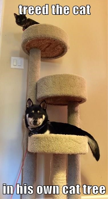 treed the cat in his own cat tree