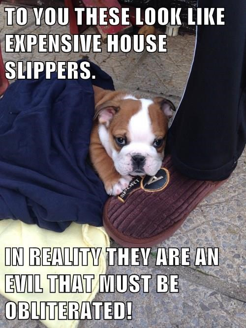 dogs,puppy,bulldog,evil,slippers