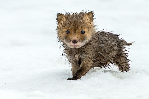 snow,fox,cute