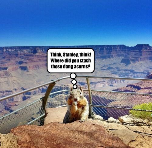 squirrel grand canyon noms acorn - 8380856832