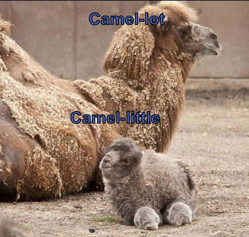 humps,camel,puns