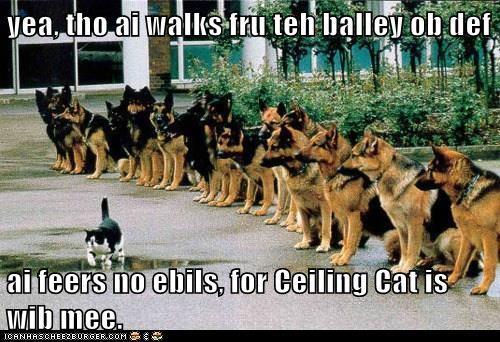 animals dogs german shepherd ceiling cat Cats - 8381270016