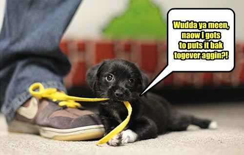 shoelace,dogs,puppy,Black Lab