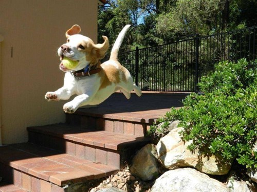 dogs puppy ball beagle happy - 8385349376