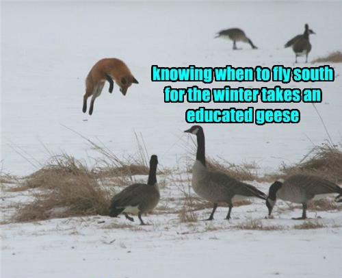 knowing when to fly south for the winter takes an educated geese