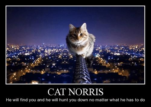 Cats chuck norris funny - 8386328320