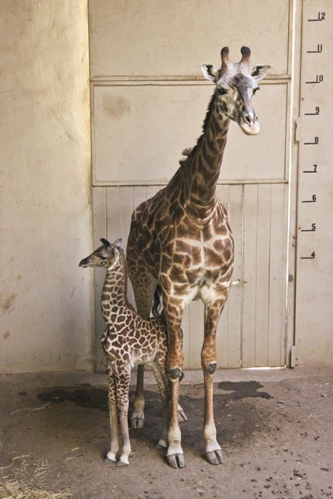 zoo cute giraffes - 8387228672