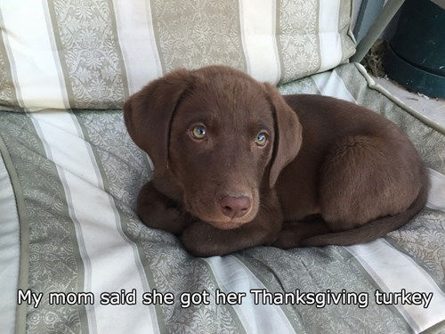 dogs puppy thanksgiving Turkey chocolate lab