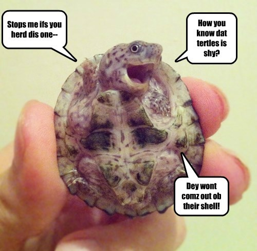 shy turtle joke - 8388078592