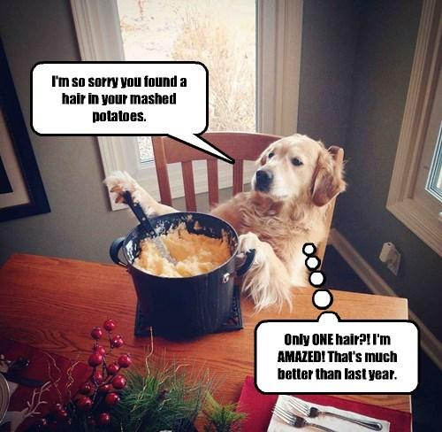 hair dogs chef golden retriever - 8388953088