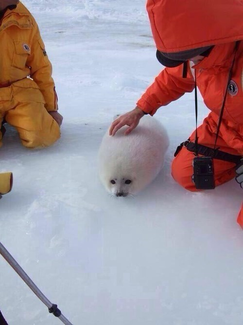 snow seal what are you squee - 8390798848