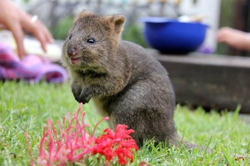 quokka,zoo,cute,Joey