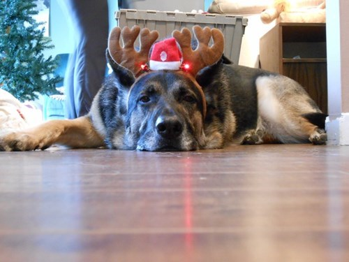 christmas dogs reindeer - 8391929344